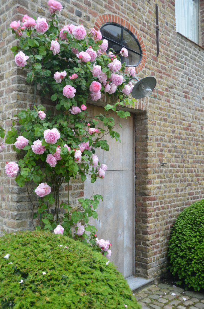 Roses climbing one of the historical buildings at The Little Monastery in Dammes, Belgium.